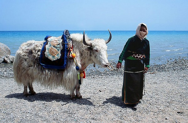 Woman with yak at Qinghai Lake